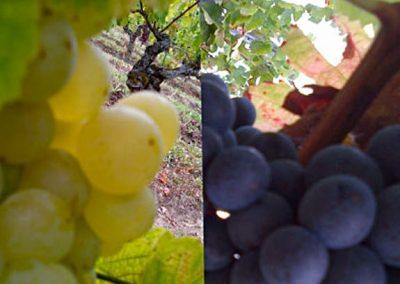 raisin-vignobles-teillet-2