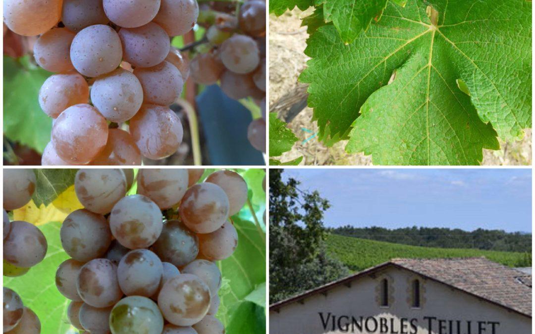 2019 les vendanges ont démarré  aux Vignobles Teillet JB