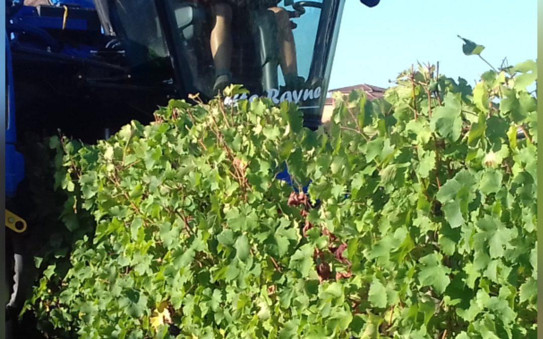 VENDANGES 2019 Cabernet Franc de Bordeaux Vignobles TEILLET