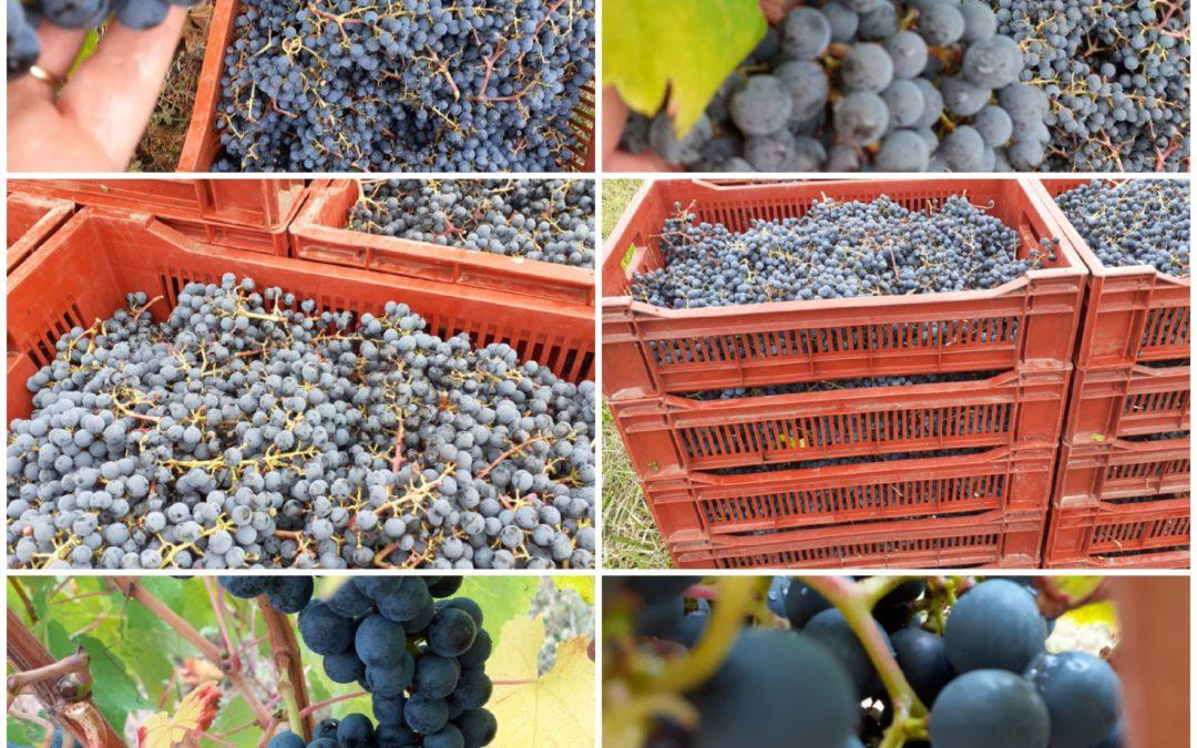 raisins rouges-vignobles teillet
