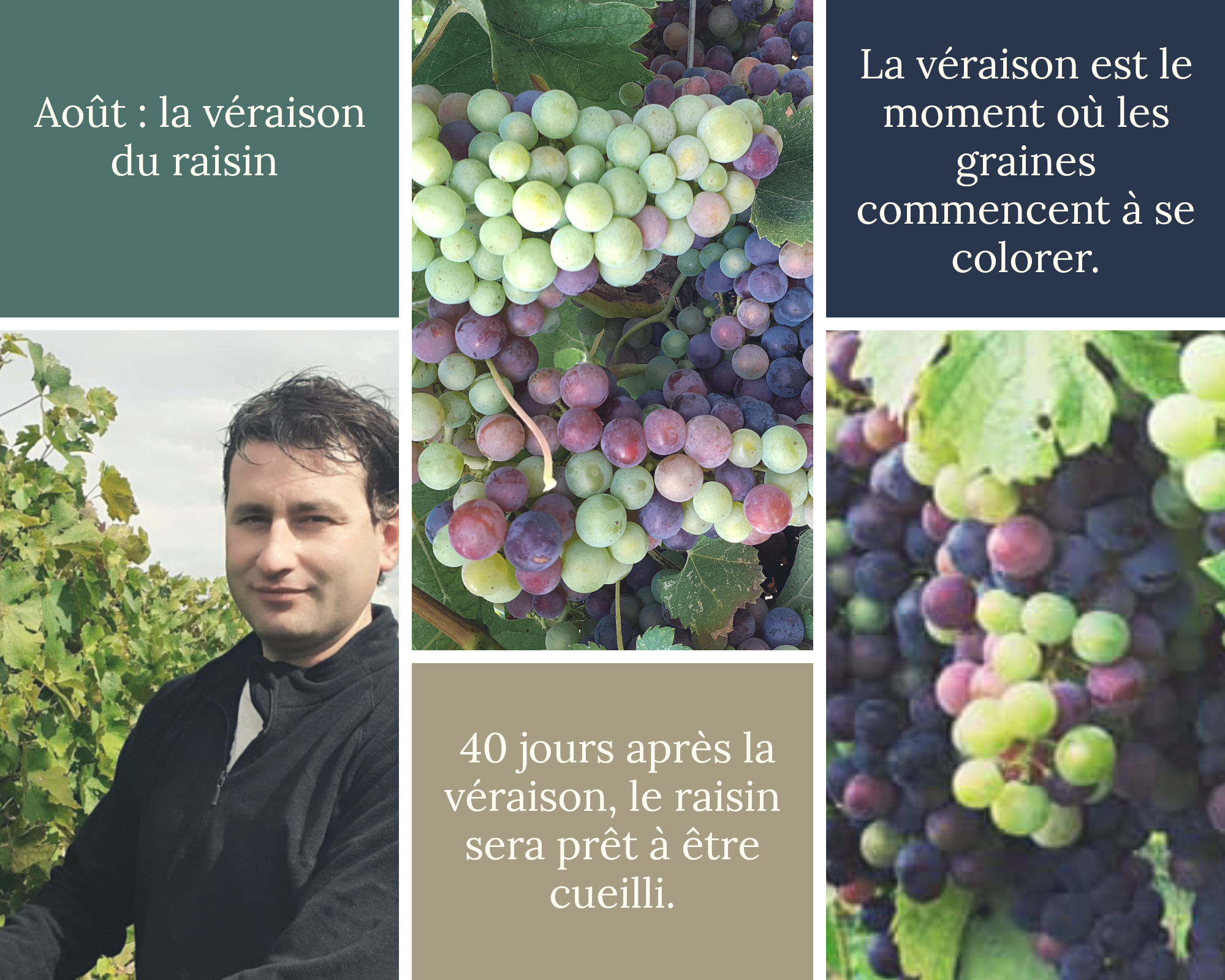 veraison raisin_vignobles teillet