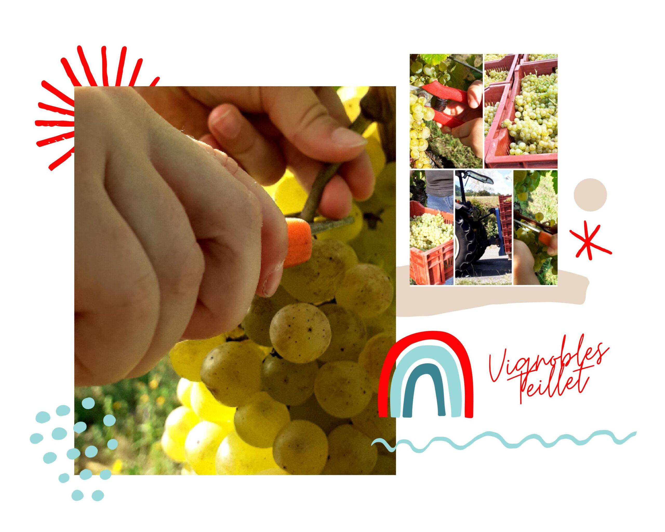 Vendanges Manuelles-Vignobles Teillet JB